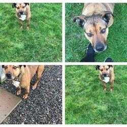 Found dog on 17 Feb 2017 in Eldergrove Trim. found, now in the meath pound...Elsa was found in Eldergrove Trim.