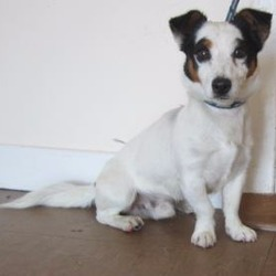Found dog on 17 Jul 2017 in Wicklow area. found.. is a male Jack Russel cross found in Wicklow area. Please contact Wicklow Dog Pound at 040444873 for further information