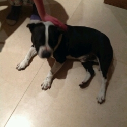 Dog looking for home 17 Jun 2014 in Palmerstown . Black and white 6 year old male Staffie - neutered and chipped - owner can't keep him due to illness. He's very friendly and house trained. Please contact 0861297208.