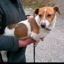 Found dog on 17 May 2013 in Knightsbrook , Trim, Co Meath. Dog Found Knightsbrook Trim, Now in Meath Dog pound. Please contact Meath Dog Pound or Dogs in Distress.