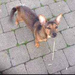 Found dog on 17 May 2014 in navan. FOUND: TRIMGATE ST., NAVAN  Small brown dog found on Trimgate Street Navan on Friday evening. No collar. ref to https://www.facebook.com/photo.php?fbid=879713025389125&set=a.475537025806729.128467.473505276009904&type=1&theater