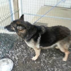 Found dog on 17 Nov 2014 in duleek. 8yr old Female GSD...found in Duleek....chipped but registered to breeder...contact Meath pound...ref 512