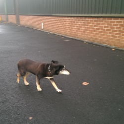 Found dog on 17 Nov 2014 in Santry . This little dog has been around our building in Santry all day. He looks fairly old. Couldn't get near enough to get a proper photo