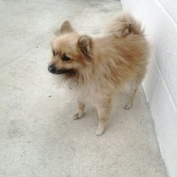 Found dog on 17 Nov 2015 in Windtown, Navan. found...male Pom, ref. 493, no microchip. Found in Windtown, Navan. Please contact Meath dog pound if you have any information.