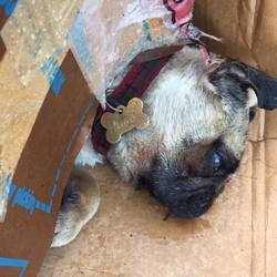 Found dog on 17 Nov 2016 in clare hall. found, RIP 2 pugs found around claire hall , dublin Name on one of the tags says