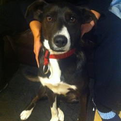Found dog on 17 Oct 2014 in Maynooth, Co. Kildare. Found a dog on the road between Kilcock and Maynooth in Co. Kildare
