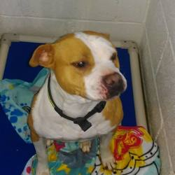 Found dog on 17 Oct 2016 in City west D24. found, contact dublin spca..Female adult staff found 16/10/16 in City west D24.