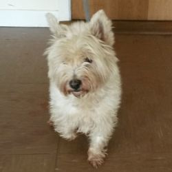 Found dog on 17 Oct 2016 in Greystones area. found. female Westie who was found in the Greystones area. Contact Wicklow Dog Pound for information on 040444873.