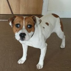 Found dog on 17 Oct 2016 in Rathdrum area. found..a female Bull breed Terrier who was found in Rathdrum area. Contact Wicklow Dog Pound for information on 040444873
