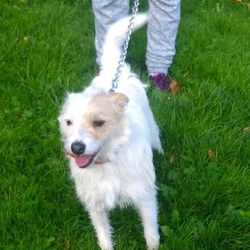 Found dog on 17 Oct 2016 in Shankill. found, contact dublin spca..Male adult terrier found 16/10/16 in Shankill.