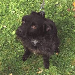 Found dog on 17 Oct 2016 in Tallaght. found, contact dublin spca...Male adult terrier found 15/10/16 in Tallaght.