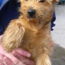 Found dog on 17 Sep 2014 in lucan. found terrier, now in dublin dog pound.. Date Found: