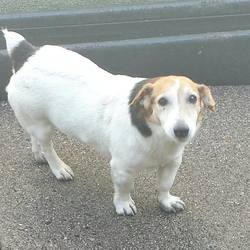 Found dog on 17 Sep 2014 in mullingar. Breed: Terrier x