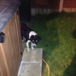 Found dog on 18 Feb 2013 in Celbridge. Black and White Collie type dog found in Celbridge. In good condition with nice coat. Wearing blue collar.