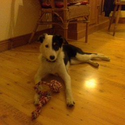 Found dog on 18 Feb 2013 in Moneen, Castlebar, Mayo. Possible border collie or terrier x. Female and under 1 year. Super friendly and affectionate. Collar but no tag.