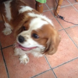 Found dog on 18 Jun 2014 in Bridgetown, Clare. King charles spanielm male, found today in Bridgetown/Broadford Clare.  Has a green collar ph 0831690731