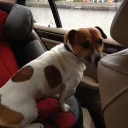 Found dog on 18 May 2013 in Orwell Road, Rathgar, D14. REUNITED - Brown/white Jack Russell found Saturday at 7:30pm on Orwell Road, Rathgar - beside kiosk shop & Dodder Park.