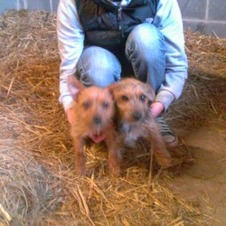 Found dog on 18 May 2013 in Porterstown Lane Co Meath. Two young Terriers