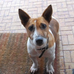 Found dog on 18 Nov 2014 in galway. Small jack Russel found Glenburren Galway. Brown studded collar. Sitting outside our door for the last 3 or 4 days. Please 0851206187