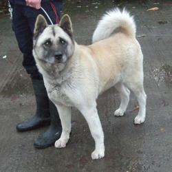Found dog on 18 Nov 2014 in walkingstown. found akita/husky now in dublin dog pound... Date Found: Monday, November 17, 2014 Location Found: St Gerards Road , Walkinstown