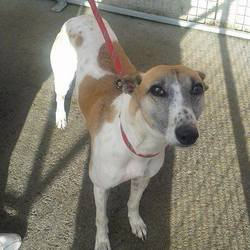 Found dog on 18 Oct 2014 in trim. found male greyhound was found on the Trim road in Navan last night, Friday 17th October. contact last hope charity on 0857172024