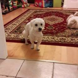 Found dog on 18 Oct 2016 in DSPCA. Bishon male dog found, around 2-3 yearsof age. white, microchipped but not registered, not neutered, freshly clipped. Tallaght, Maplewood avenue on the 18th october. currently at the DSPCA