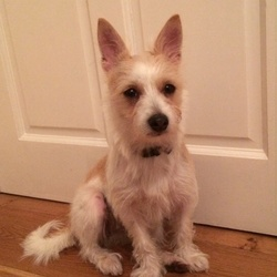 Found dog on 18 Oct 2016 in Malahide road Dublin 3. Approx 2 year old small terrier x , female. If you recognise this dog please contact me ASAP