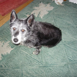 Found dog on 18 Sep 2012 in Inverin, Galway. Small male neutered black dog with white on muzzle, head and shoulders. Corgi-like body shape but deffinitely a mix! Very friendly. Obviously a family pet.
