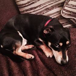 Found dog on 19 Dec 2014 in swords. found terrier ..swords contact 0857335192  ref to swords lost and found page