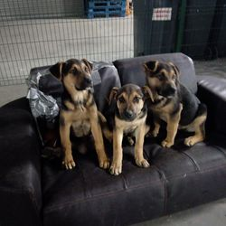 Found dog on 19 Feb 2018 in clonalvey,. found...Ref 29, 30, 31, Alfie, Alfonso and Albert found in clonalvey, German Shepherd x puppies, please share to help these boys find their way home, contact 0870973911 if you have any information