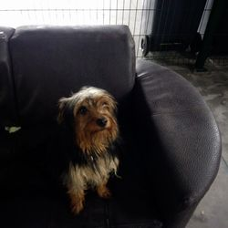 Found dog on 19 Feb 2018 in Mary's Church navan. found...Ref 35, Yorkshire terrier found at St. Mary's Church navan, any information please contact the pound on 0870973911