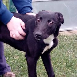 Found dog on 19 Feb 2018 in navan. found..Ref 24, Barry, male lurcher pup, found in navan, contact 0870973911 with any information