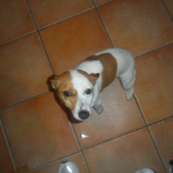 Found dog on 19 Jan 2012 in finglas. jack russel found in finglas