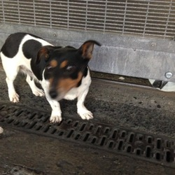 Found dog on 19 Jun 2014 in Dublin 8. Female Black- White - Tan Jack Russell.Found in Dublin 8. Inchicore Area