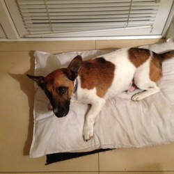 Found dog on 19 Jun 2014 in Portmarnock. Lively, young Jack Russell-type male dog found Thursday June 19 in Portmarnock, Dublin