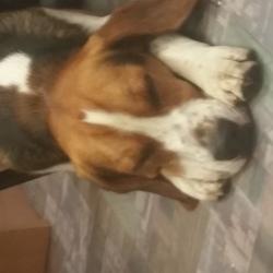Reunited dog 19 Jun 2017 in Ballybane,  Galway. Young beagle.