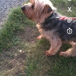Found dog on 19 Mar 2018 in Donnymount beach raheny . Hello, I found a dog at donnymount beach today across from saint Anne's Park artane. He is a Yorkshire terroir maybe a bit old has  a green collar with the make trixie.
