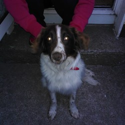 Found dog on 19 May 2013 in Balbriggan . Found this Male Dog in Balbriggan yesterday - Sunday the 19th may he was lost all day and followed us home. If anyone knows him or knows anyone looking for him please let me know. thanks
