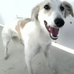 Found dog on 19 May 2015 in Beauparc Slane. found female....2yr old Lurcher ..ref 247...found in Beauparc Slane....this poor girl was thrown over a 6ft wall last night...she has been vet checked and is thankfully fine...if you can help this girl, contact Kathy on 086 3696413 ..thanks