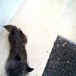 Found dog on 19 Nov 2014 in trim. found .4yr old Cairn Terrier found in.Newtown in Trim..ref 516....contact Meath pound