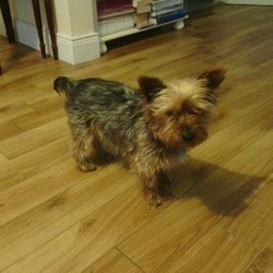 Found dog on 19 Oct 2014 in Cork. This Yorkshire Terrier was found in Mallow Co.Cork on 19/10/'14 but may have been stolen anytime previous from anywhere in Ireland. It can be seen on their facebook page and contact may be made through Mallow Animal Rescue's facebook page.