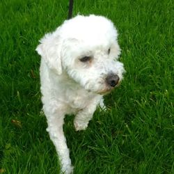 Found dog on 19 Oct 2016 in tallaght..../. found, contact dublin spca...2 hrs �   Male adult bichon found 18/10/16 in Tallaght.
