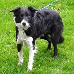 Found dog on 19 Oct 2016 in tallaght... found, contact dublin spca..Female adult collie found 19/10/16 in Tallaght.