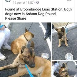 Found dog on 20 Apr 2018 in boombridge luas . FOUND boombridge luas station, now in the dublin dog pound...