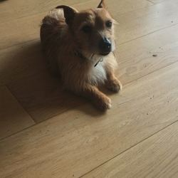 Found dog on 20 Apr 2018 in White's Road Farmleigh Castleknock. Small Brown and White terrier found wearing a black collar - he is older.
