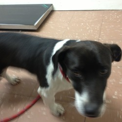 Found dog on 20 Feb 2013 in Kingswood, Tallaght Dublin 24. Found 20/02/13 in Kingswood park / graveyard, Tallaght. Very friendly. Not neutered. No collar or chip. Large jack russel type. Black (dark brown) and white in colour. Seen wandering for a few days. Sorry the photo isnt great - thats all I could get! Very active!!