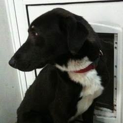 Found dog on 20 Feb 2013 in Phoenix Park Dublin. Male, Black/Brown with white chest and four white paws, young, not neutered, scar over left eye, very skinny.