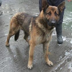 Found dog on 20 Feb 2017 in Aghfarrell , Brittas. found, now in the dublin dog pound... Date Found: Friday, February 17, 2017 Location Found: Aghfarrell , Brittas
