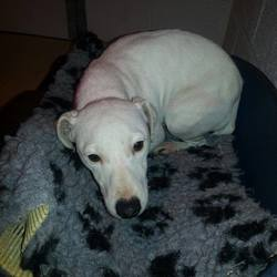 Found dog on 20 Jan 2015 in trim. found .ref 43..Terrier X female approx. 2yrs....found in Moorlands Trim...this poor little girl is very scared & nervous....contact Meath pound on 087 0676766