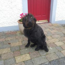 Found dog on 20 Jul 2012 in Kilkenny. (Bearded?) Collie X, Female, Approx 1 year, found in Kilmacow, Co. Kilkenny. Contact 0851544052